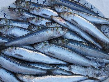 blog-いわし原魚2013.jpg