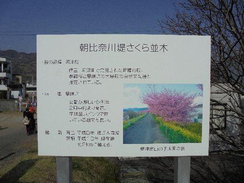 blog-20160228桜まつり朝比奈川.jpg